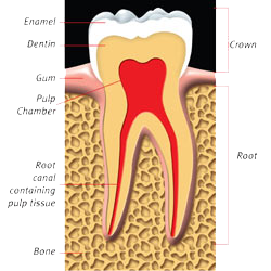 A Healthy Tooth